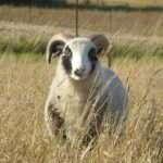 shetland ram lamb